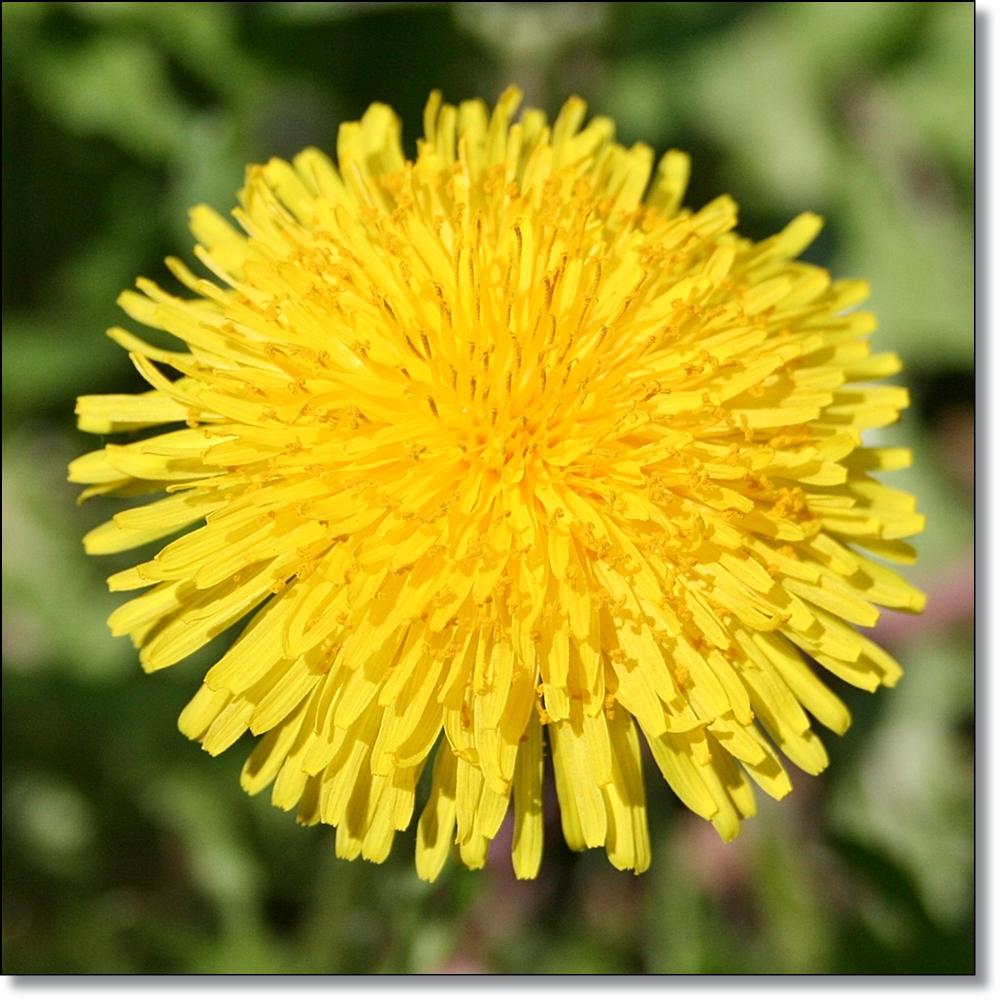 Fiori Gialli Tarassaco.3 Idee Per I Fiori Di Tarassaco 3 Idea With Dandelion Flowers