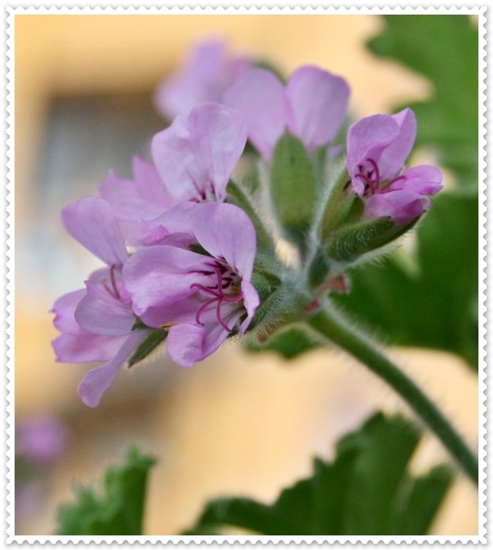 Due idee che profumano di geranio odoroso two scented - Geranio odoroso ...