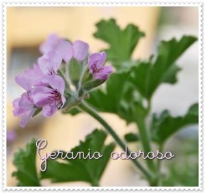 Geranio odoroso (5)