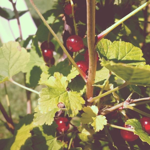 Ribes rosso - pianta